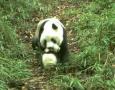 野生大熊猫争地盘