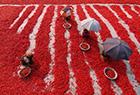孟加拉国辣椒种植