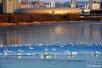 实拍:三门峡市黄河湿地迎来成千上万只白天鹅