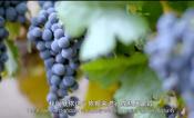 张裕葡萄基地技术员杨亚超:做好葡萄酒的第一个把关