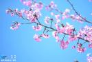 义井5000亩樱花美景