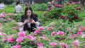 河南洛阳:牡丹花开满园香