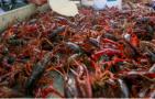 稻虾轮作收益猛增