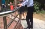 北京野生动物园:被砸白虎刚当爸爸 将请投石者重游
