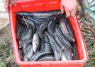 稻田养鱼喜获丰收