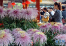 立冬后菊花文化节进入尾声 游客赏菊热情不减