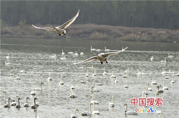 """大河奔流天鹅舞""""白色精灵""""舞动三门峡"""