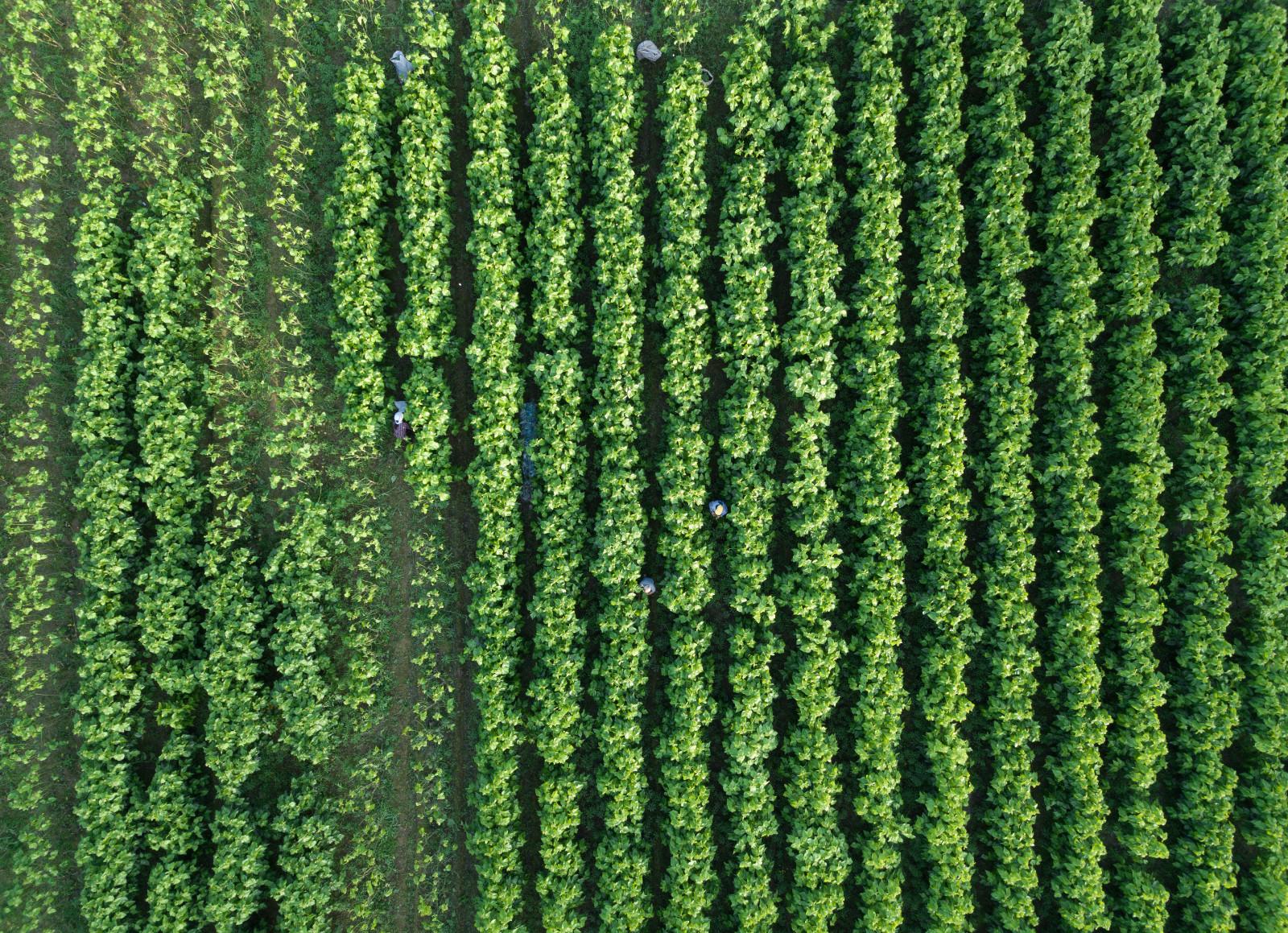 养蚕工人在下姜村采摘桑叶(5月9日无人机拍摄)。新华社记者 翁忻旸 摄