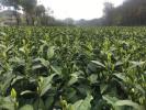 首批西湖龙井今天大面积开采 雨水对品质会有影响吗?