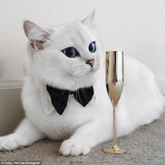 常见的英国短毛猫是灰色毛发黄铜色眼睛,而coby则有着雪白毛色和冰