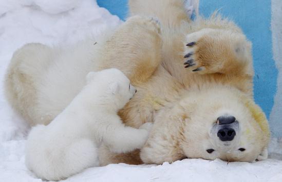 虽然北极熊属于凶猛的动物