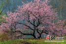 河北棋盘山杏花节后天开幕 带上家人去看看