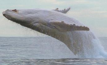 露面了!世界仅有一头的纯白座头鲸