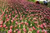 诸城:荷兰郁金香公园游人如织