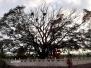 莱西有棵600岁黑檀树 中秋节百人为它亮灯(图)
