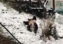 当大熊猫遇见初雪
