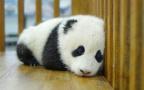 """萌萌哒! 法国首个大熊猫宝宝取名为""""圆梦"""""""