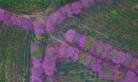 贵州兴义: 航拍茶场冬季樱花惊艳绽放 让人流连忘返