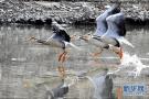 西藏拉萨河 鸟类的天堂