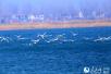 河南民权黄河故道国家湿地公园迎来数百只白天鹅