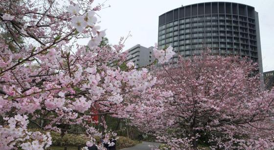 日本东京提前进入樱花季 游人徜徉花海