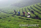 头拨西湖龙井明前茶到货 价格每斤8000元以上!