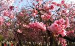 三月赏樱攻略