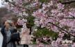 北京玉渊潭樱花节开幕 近3000株樱花相继盛开