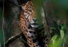 亚马逊美洲虎的树上生活