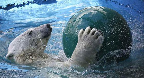 呆萌北极熊游泳消暑 花式玩球超惬意