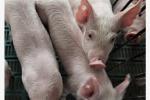 江苏省连云港市海州区发生一起非洲猪瘟疫情