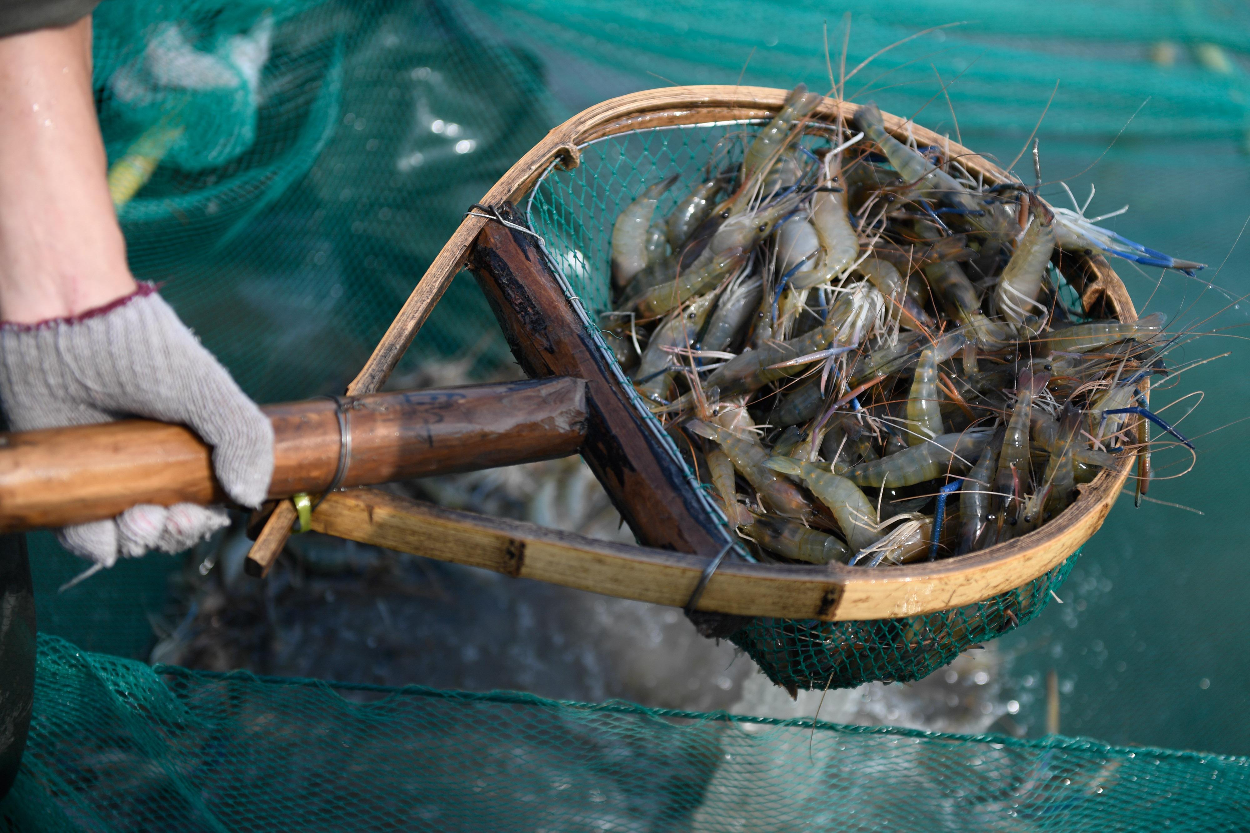 丰收2018|浙江湖州:又是一年虾肥时