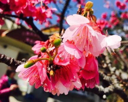 樱花大赏时间表出炉