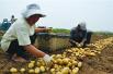 青岛土豆出口量降四成 外销价格不占优势