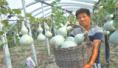 杞县温棚种植技术取得良好经济效益