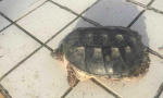 """鸭绿江现""""水中霸王""""鳄龟 渔政部门:不要随意放生"""
