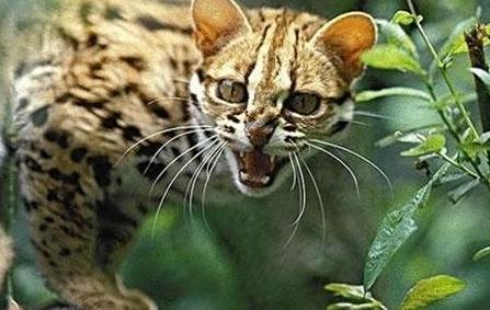 这个动物 是猫还是豹?