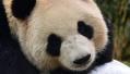 俄媒:中国大熊猫或将再次入住莫斯科动物园