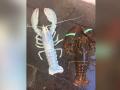罕见蓝色大龙虾