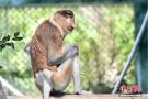 濒危物种大鼻猴