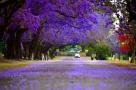 南半球的春天竟然是蓝色的