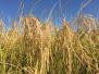 """""""海水稻""""不是真的用海水浇灌,离产业化还有距离"""