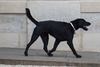 它为何是法国第一狗