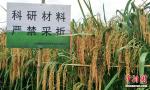 这种水稻比袁隆平还高