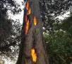 大树内燃烧成空壳