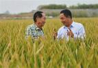 袁隆平团队选育超级杂交水稻 创造单产最高纪录