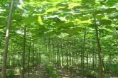 """蘭考造林:剛摘""""貧困"""