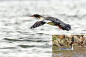 国家一级重点保护动物中华秋沙鸭白河来安家