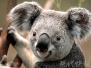 终于等到你!本月下旬3只澳洲考拉要来南京啦!
