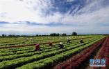 定州不断做大做强蔬菜产业 播种面积达57万亩